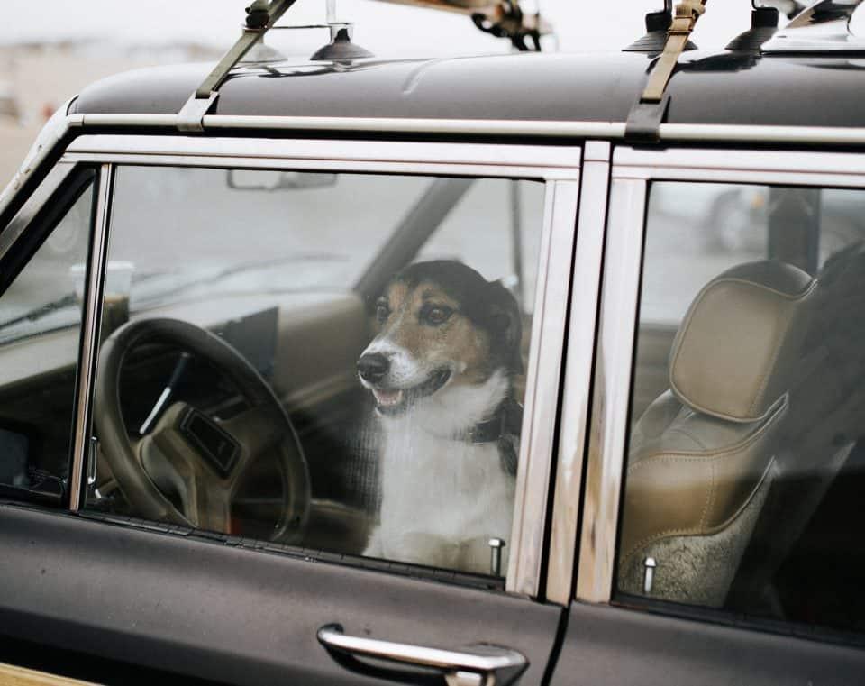 Hund sitzend im Auto mit Blick nach draußen